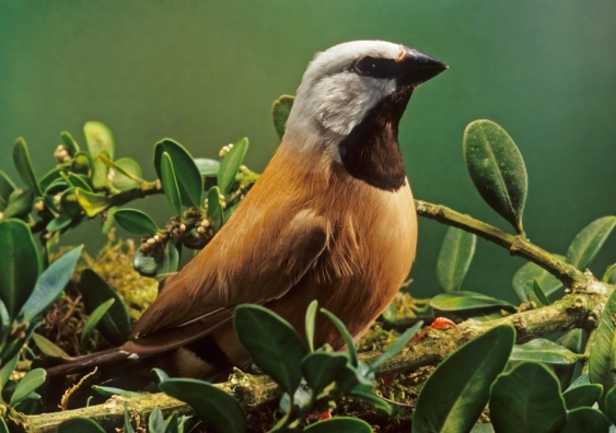 A black throated finch. Australian artists are sending artistic representations of the bird to politicians to protest the Adani mine, which threatens the bird's habitat. Image from Shutterstock